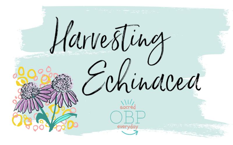 harvesting echinacea